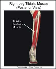 The Tibialis Posterior Muscle